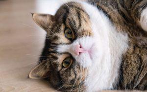 tłusty kot